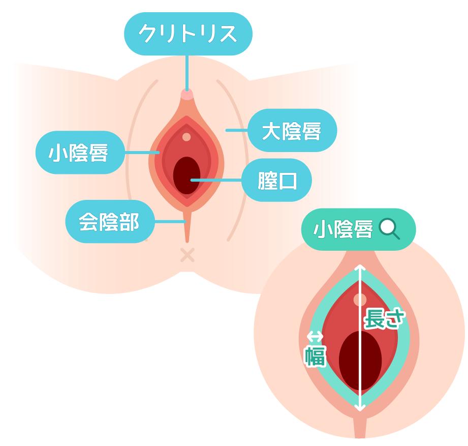 女性器の形